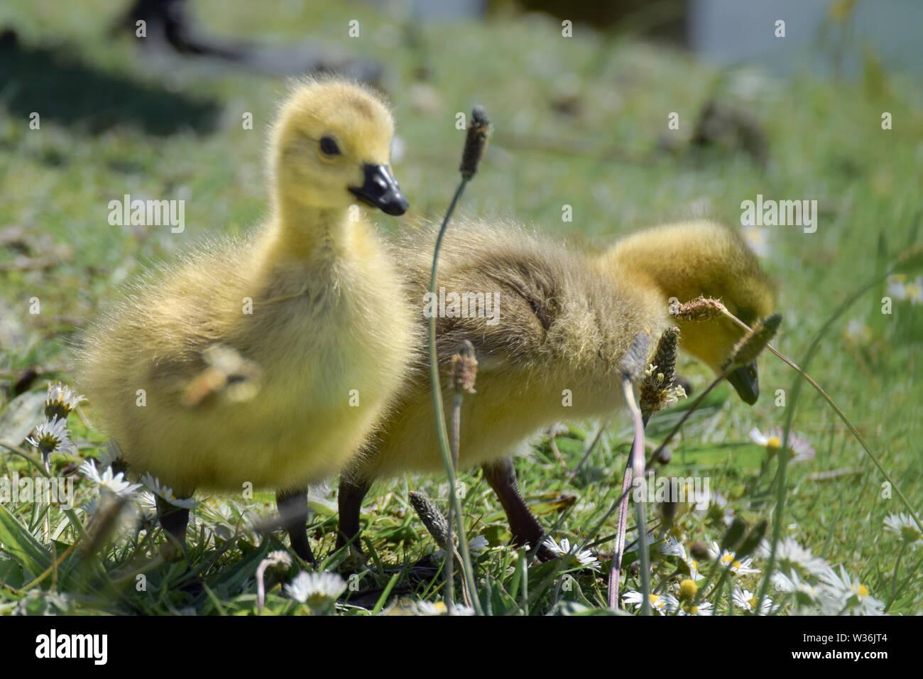 new arrival 5db12 9bd04 Cute Baby Gänse im Gras Stockfoto, Bild: 260145988 - Alamy