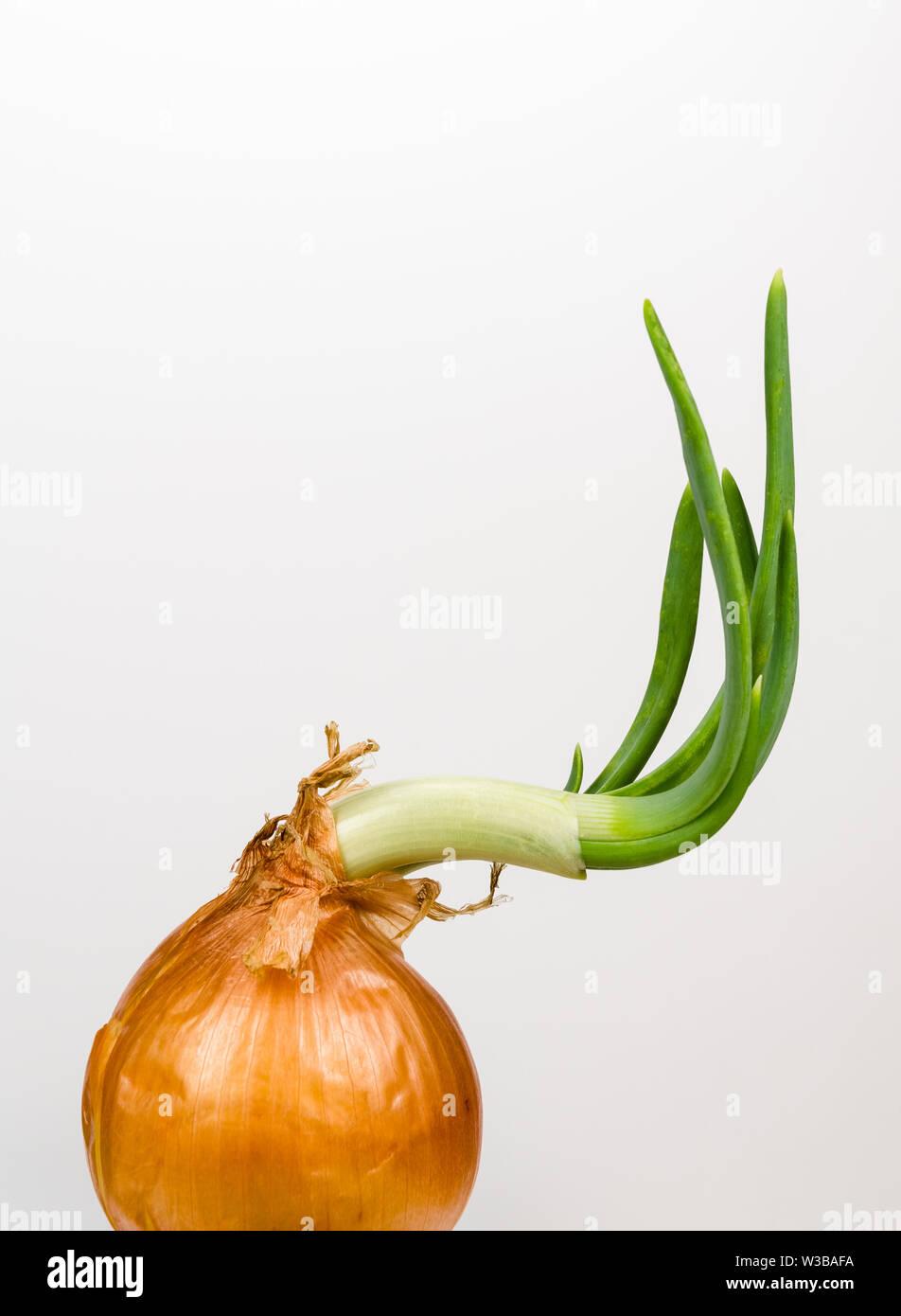 Allium cepa, Close-up eine sprießende Zwiebel gegen einen hellen Hintergrund Stockbild