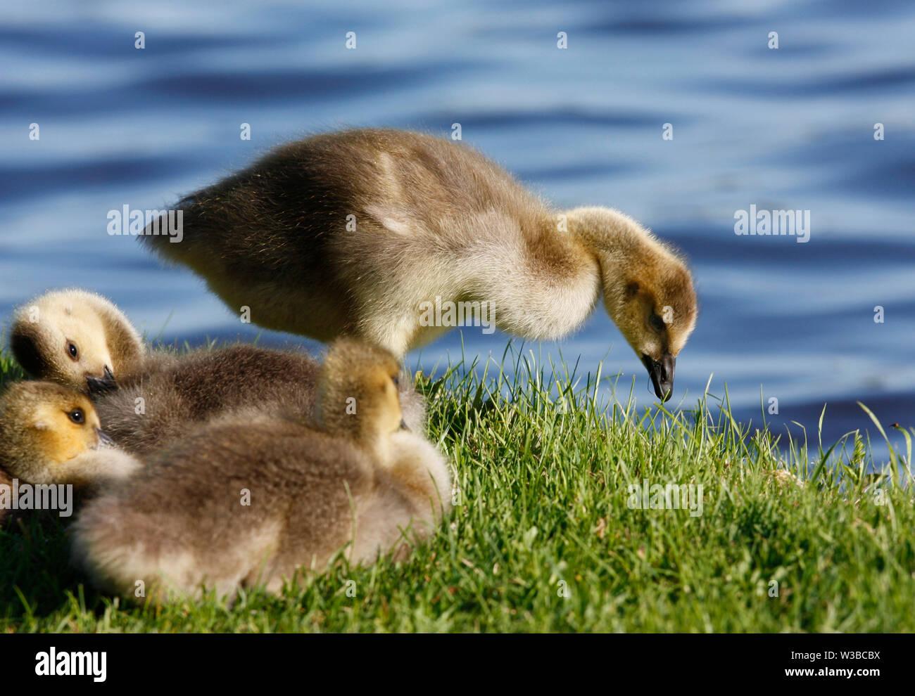 new concept 27a5a bf558 Baby Gänse Stockfotos & Baby Gänse Bilder - Alamy