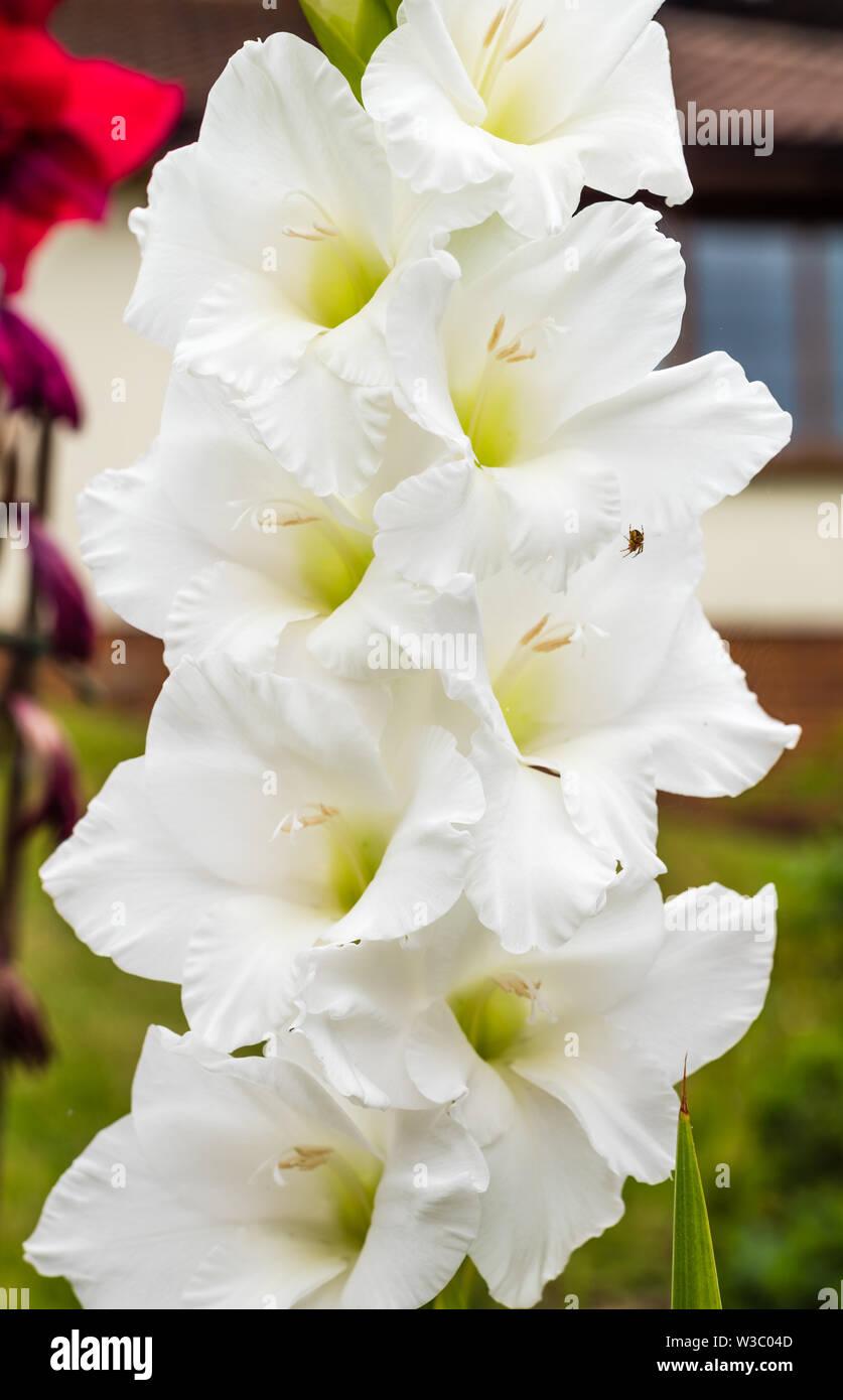 Gladiolus Eiskappe hybrid oder Gladiolen, wachsen in einem privaten Garten. Stockbild
