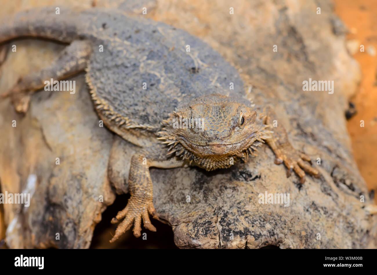 Die Östliche Bartagame Eidechse auch als gemeinsame Bartagamen, bekannt oder einfach bärtigen Lizard (Pogona Lanceolata) Stockfoto