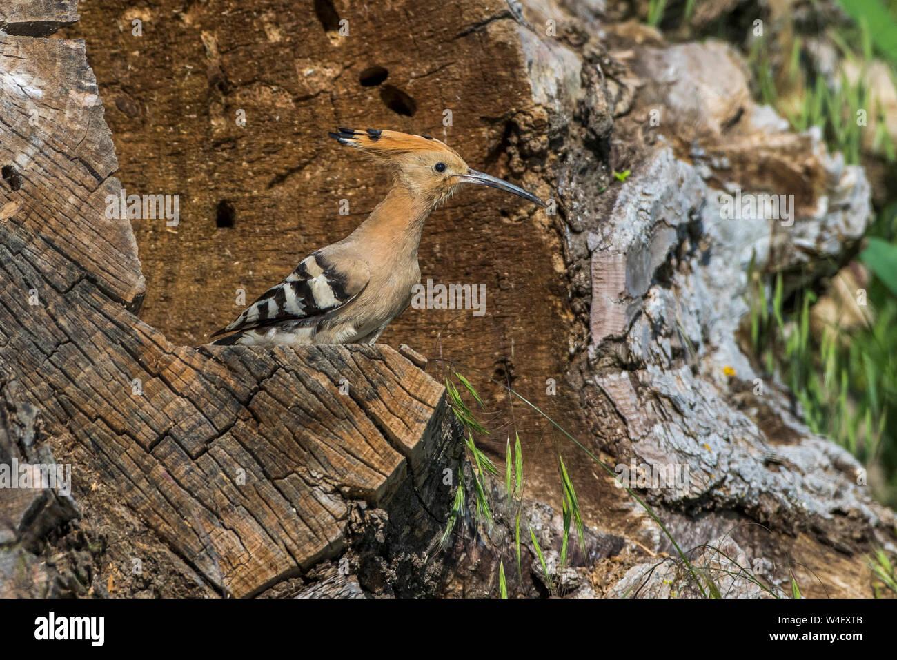 Eurasischen wiedehopf Wiedehopf (Upupa epops) Stockfoto