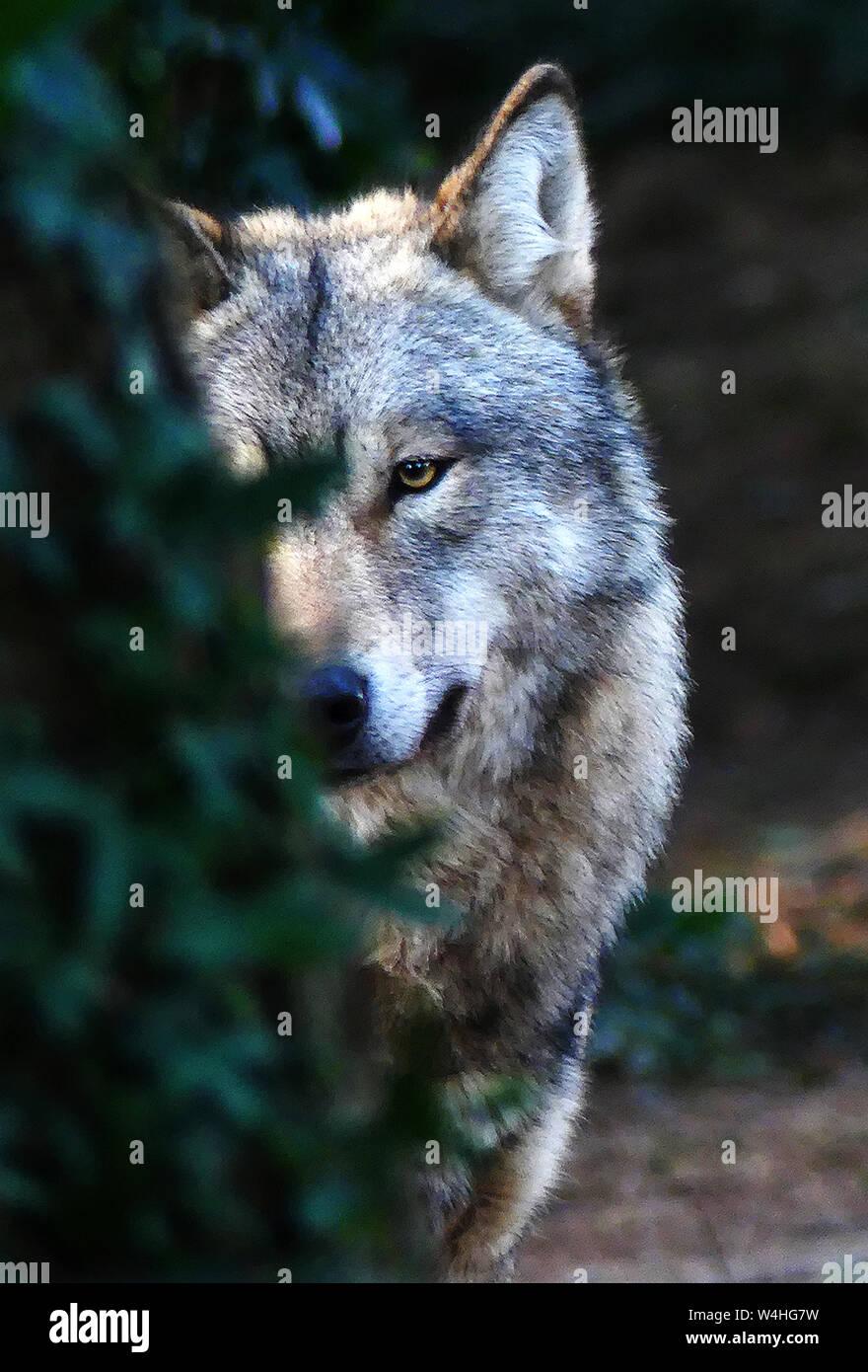 Der Graue Wolf waspersectutedby Menschheit aussterben in der BritishIsles und an vielen Orten rund um Europa. Stockfoto