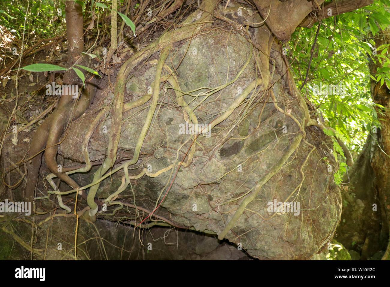 Riesige Felsbrocken mit tropischen Baumwurzeln überwuchert. Pine Tree Wurzeln auf Stein. Ein Baum wächst auf einem großen Felsen mit seinen Wurzeln erreichen Stockfoto