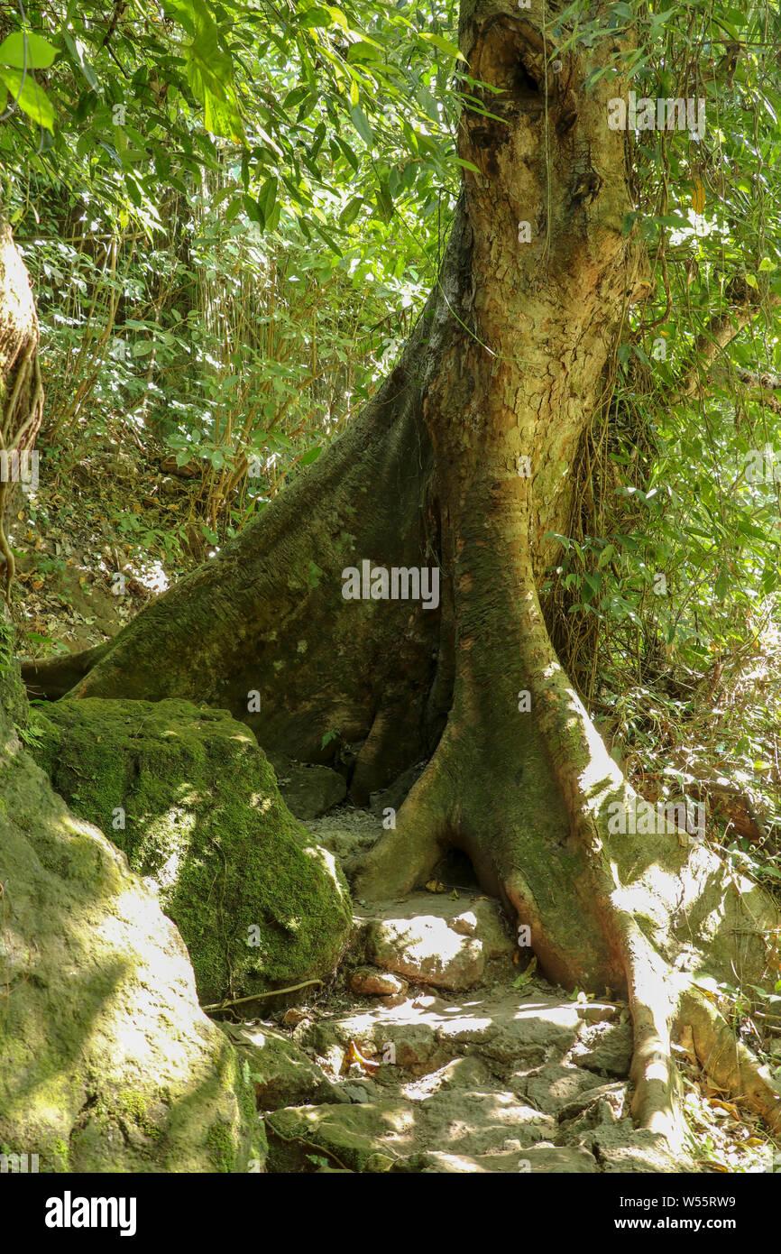 Abstrakte Aussehen der tropischen Baum Stamm und seltsame Form von flachen Wurzeln über dem Boden. Dichten Regenwald und extremen Gelände. Die Sonnenstrahlen. Stockfoto