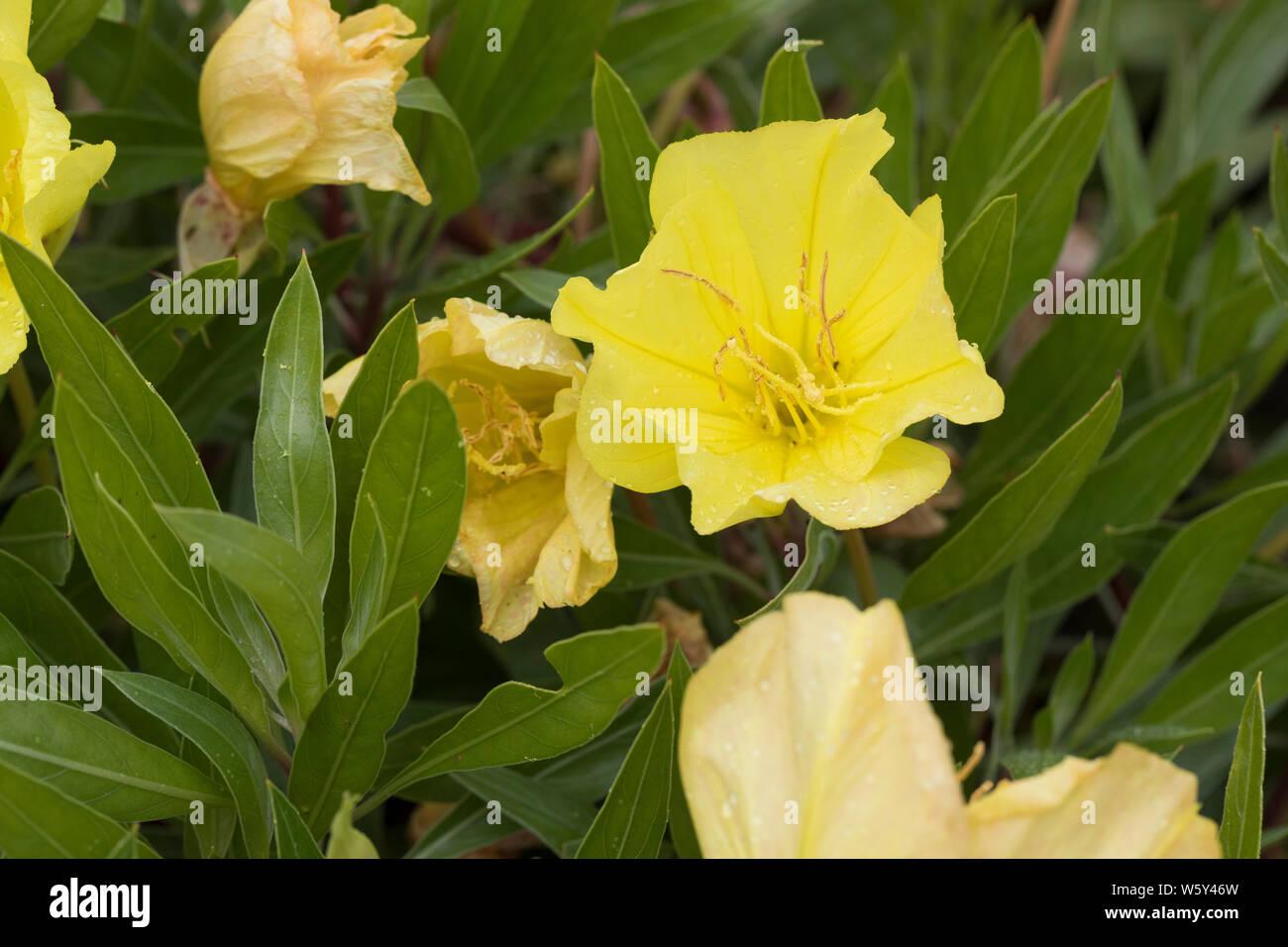 50 Samen Steingarten-Nachtkerze Oenothera macrocarpa