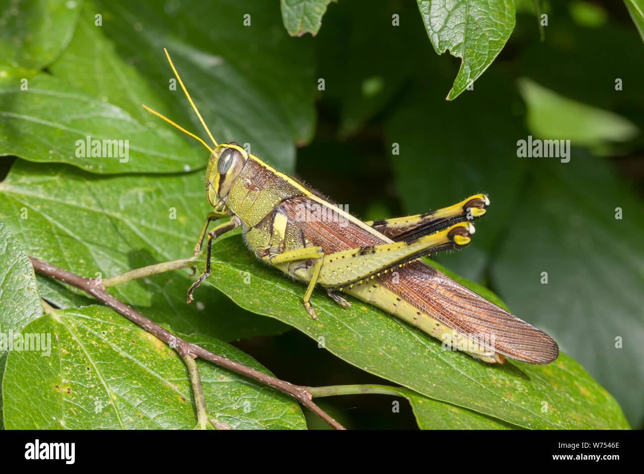 Eine obskure Vogel Grasshopper (schistocerca Obscura) Sitzstangen auf ein Blatt. Stockfoto