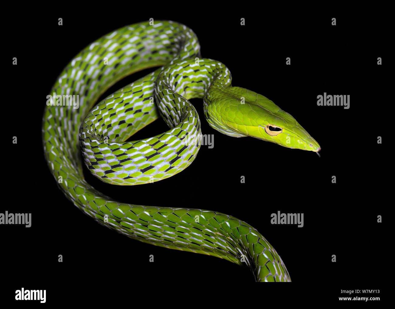 Asiatische Weinstock/Oriental peitsche Schlange (Ahaetulla prasina) unverlierbaren, aus Asien Stockfoto