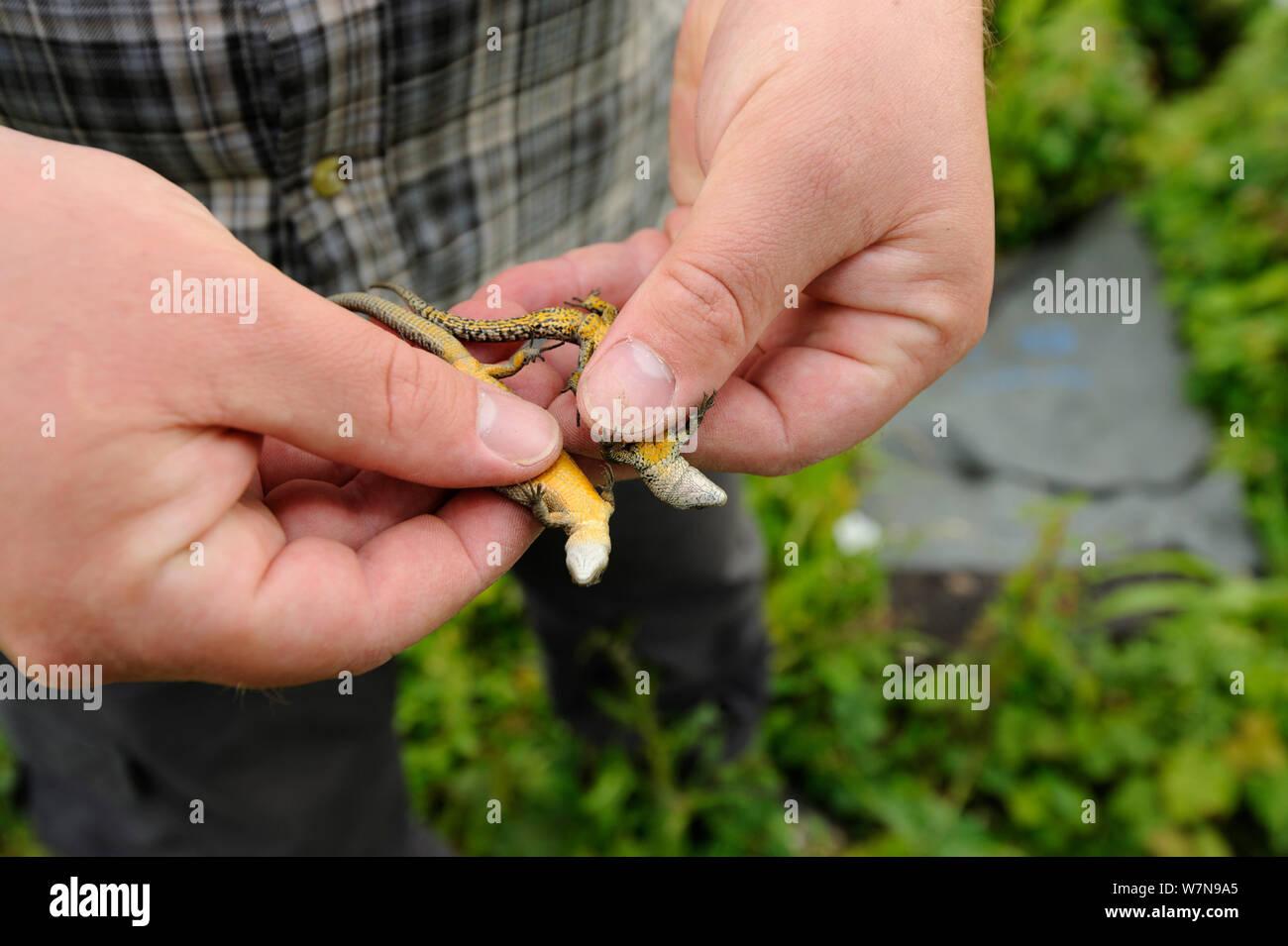 Gemeinsame Eidechsen (Zootoca/Lacerta vivipara) von brachfläche für Entwicklung als Teil der Minderung Projekt geplant von Ökologen Brett Lewis entfernt werden. Mann auf der rechten Seite mit mehr Spotting. Kent, Großbritannien, Juni 2012. Stockfoto