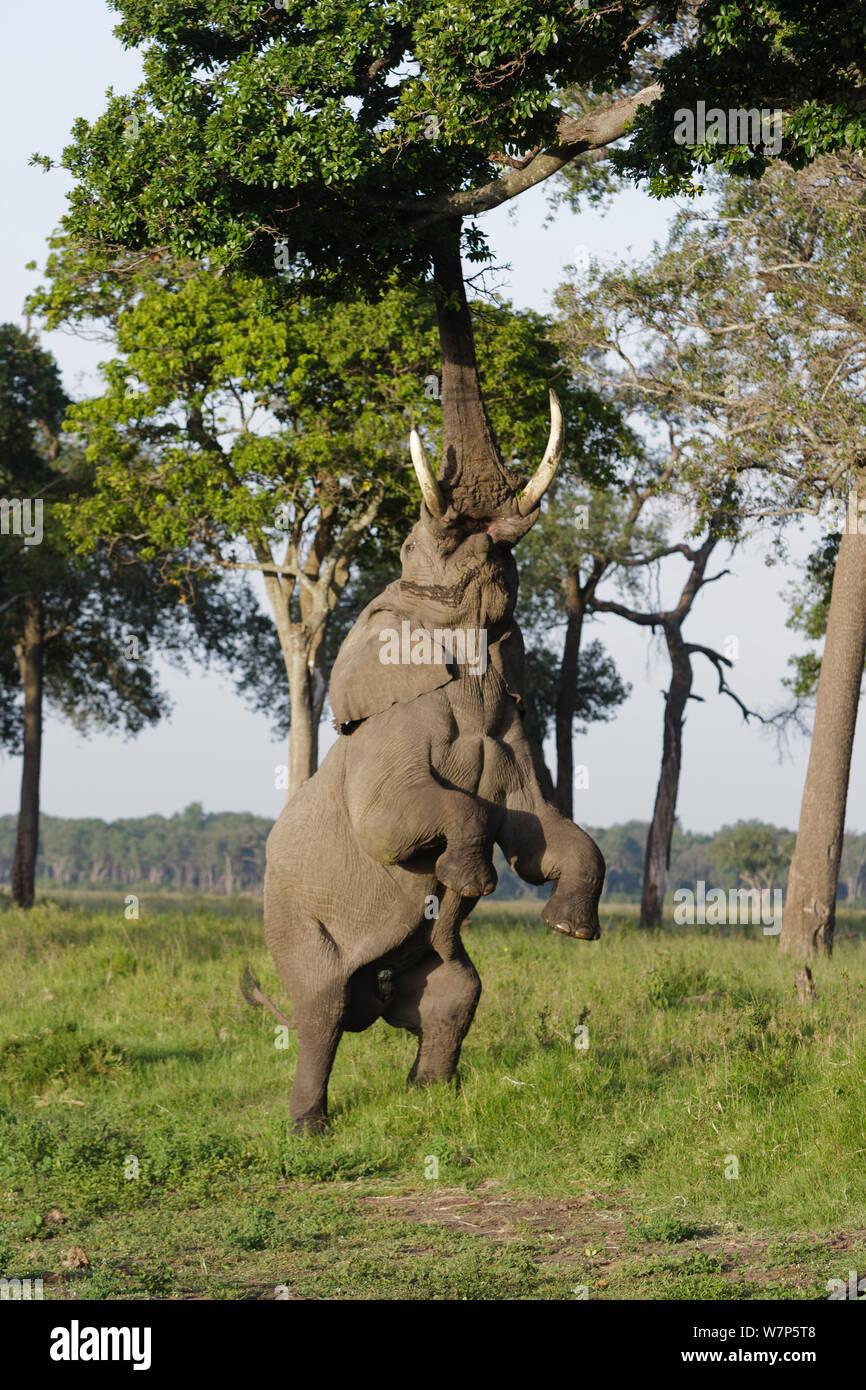 Afrikanischer Elefant (Loxodonta Africana) stehend auf Hinterbeinen zu erreichen fährt hoch im Baum. Masai Mara Game Reserve, Kenia. Stockfoto
