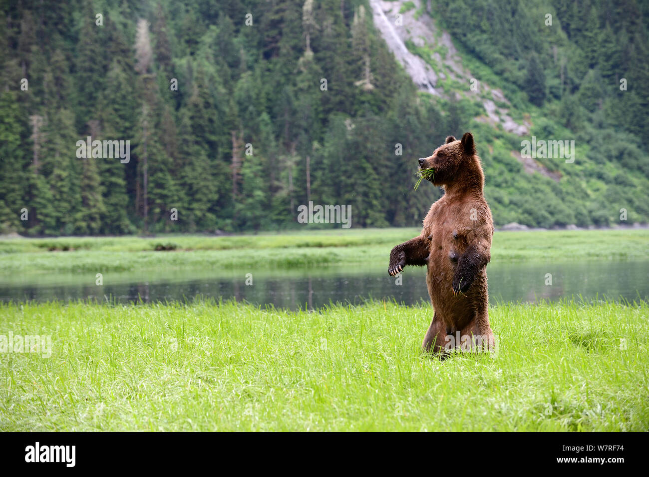 Weibliche Grizzlybär (Ursus arctos Horribilis) stehend in und um das Suchen, während der Fütterung auf Segge, Das Khutzeymateen Grizzly Bär Heiligtum, British Columbia, Kanada, Juni. Stockfoto