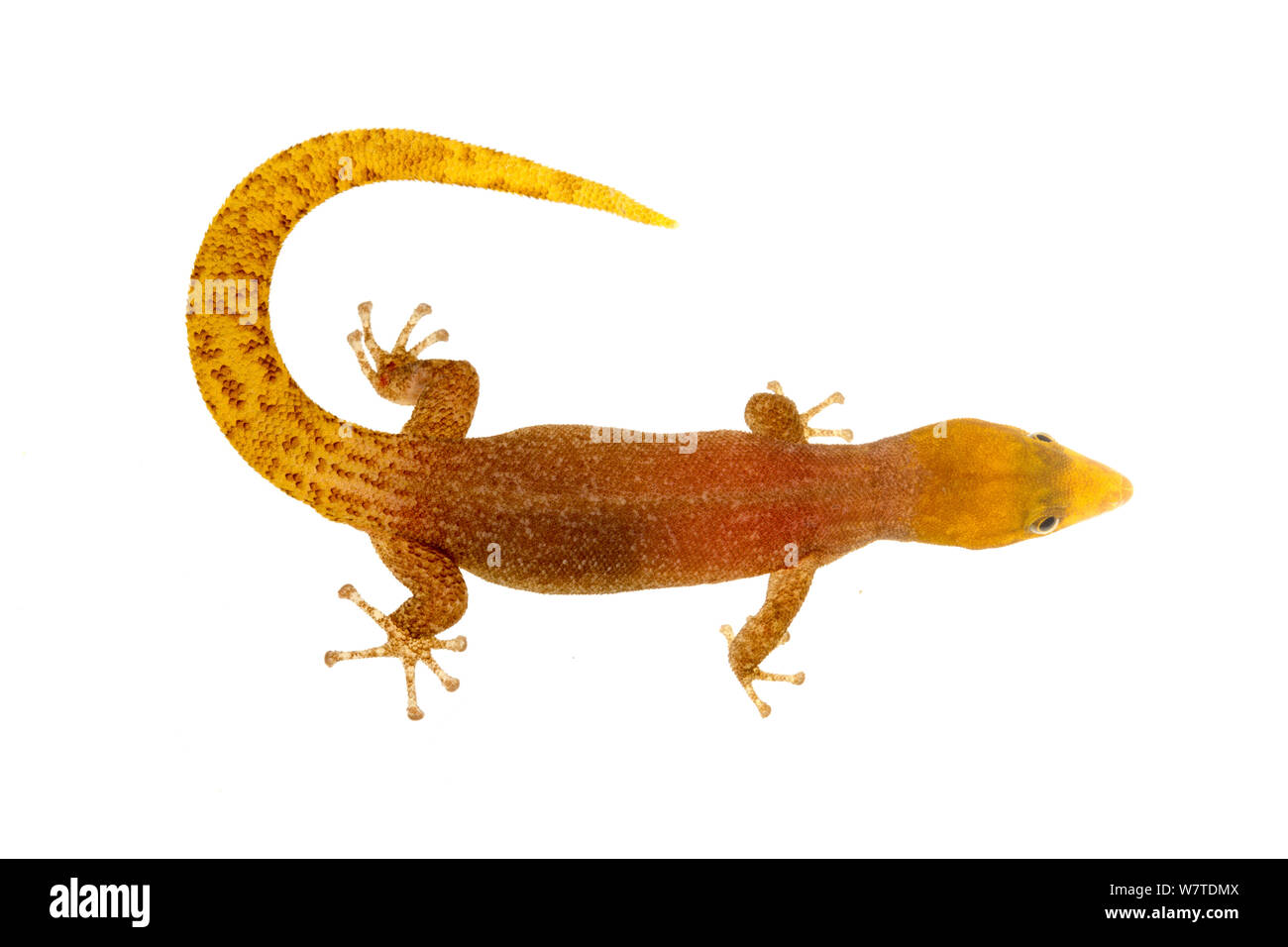 Sphaerodactylus homolepis Isla Colon, Panama. Meetyourneighbors.net Projekt Stockfoto