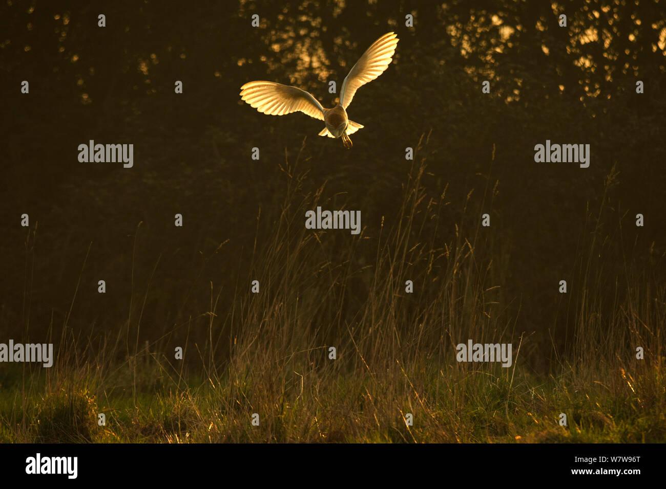 Schleiereule (Tyto Alba) Jagd im späten Sonnenlicht, UK, März. Stockfoto