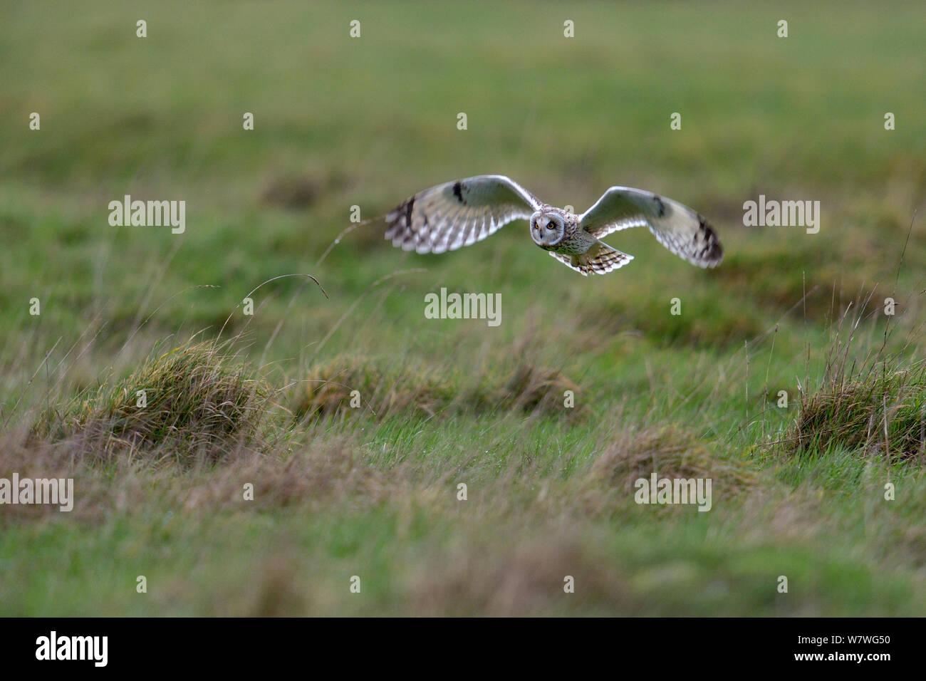 Short eared owl (Asio Flammeus) im Flug, bretonische Marsh, Frankreich, Januar. Stockfoto