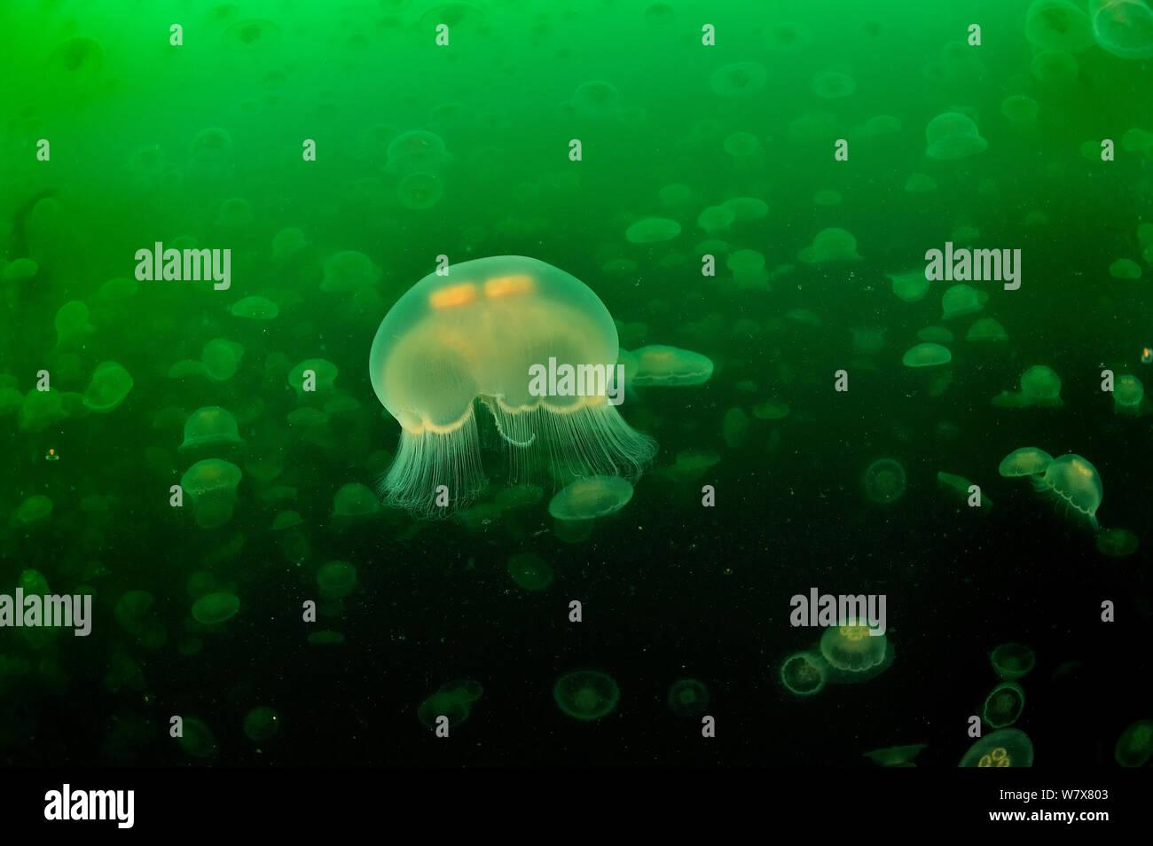 Eine Vielzahl von Mond Qualle (Aurelia Labiata), Alaska, USA, Golf von Alaska. Pazifischen Ozean. Stockfoto