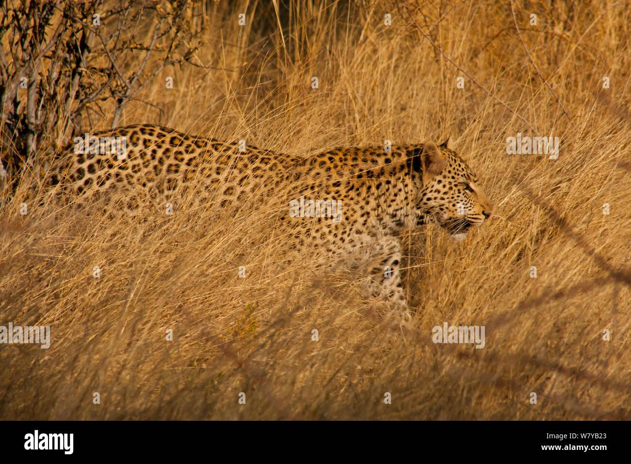 Leopard (Panthera pardus) zu Fuß durch die Trockenrasen, erindi Game Reserve, Namibia Stockfoto
