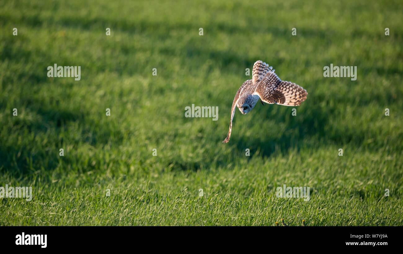 Short eared owl (Asio Flammeus) Tauchen für Beute, Myvatn, Island, Juni Stockfoto