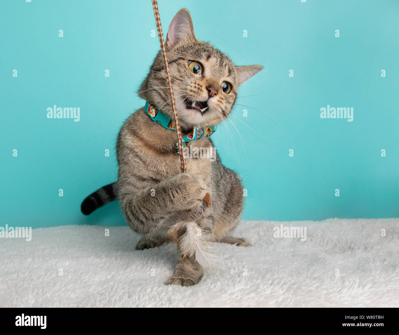 Nette junge gestromte Katze trägt blaue Orange Fliege Kostüm Portrait, Funny Face Aktion Spielen mit Maus Blau und weißem Hintergrund Stockfoto