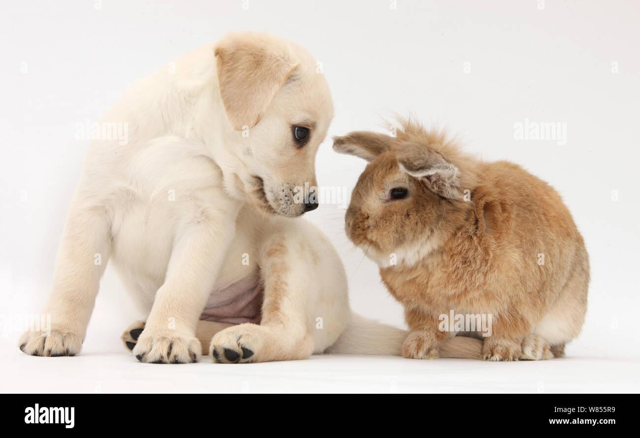 Gelben Labrador Retriever Welpen 8 Wochen Mit Lionhead Kreuz Kaninchen Tedson Stockfotografie Alamy