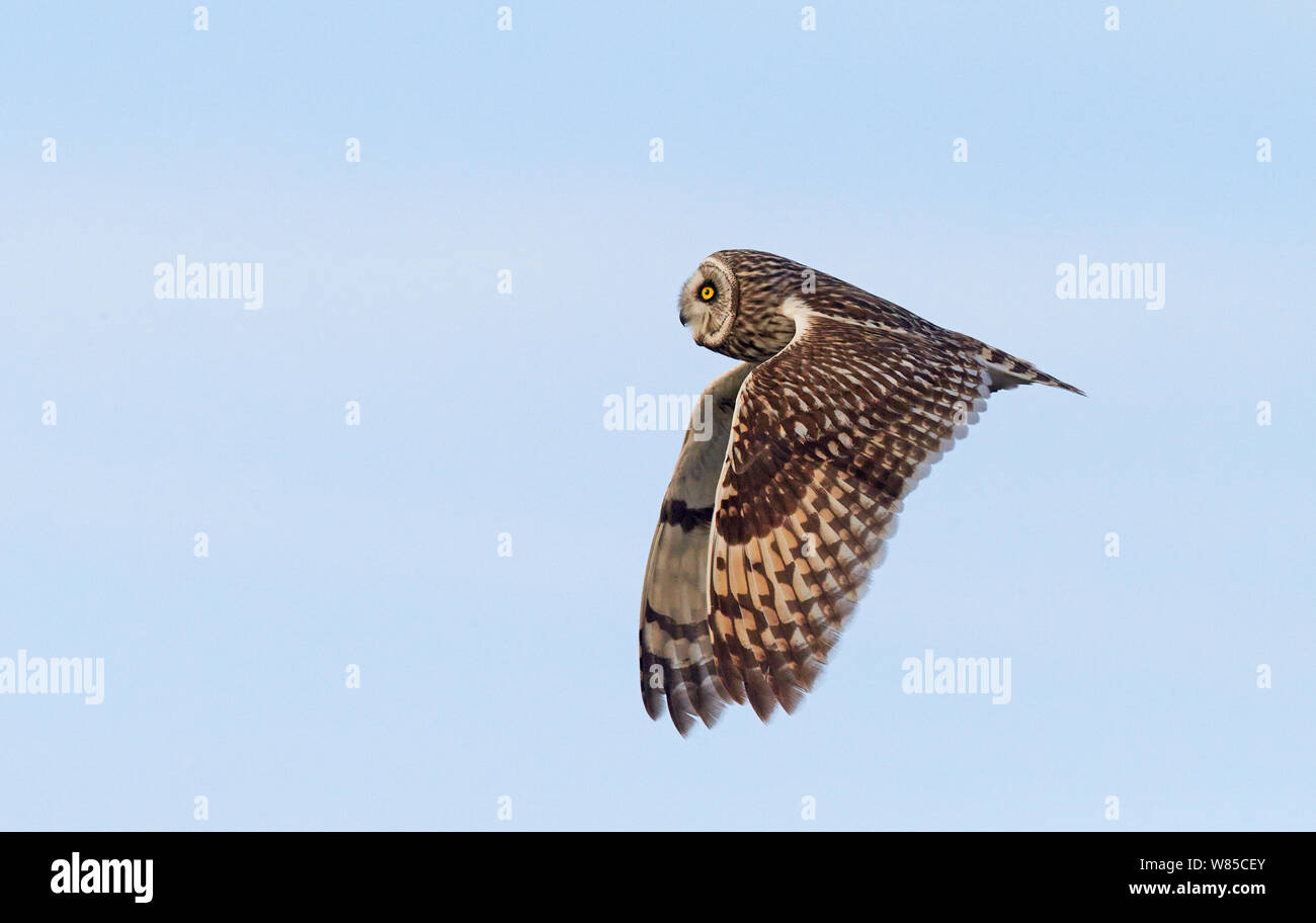 Short eared owl (Asio Flammeus) im Flug, Uto, Finnland, Mai. Stockfoto
