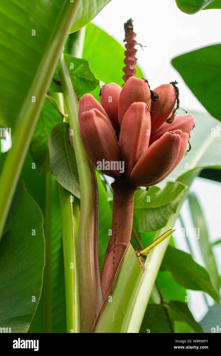 Lila-banane 10 Samen
