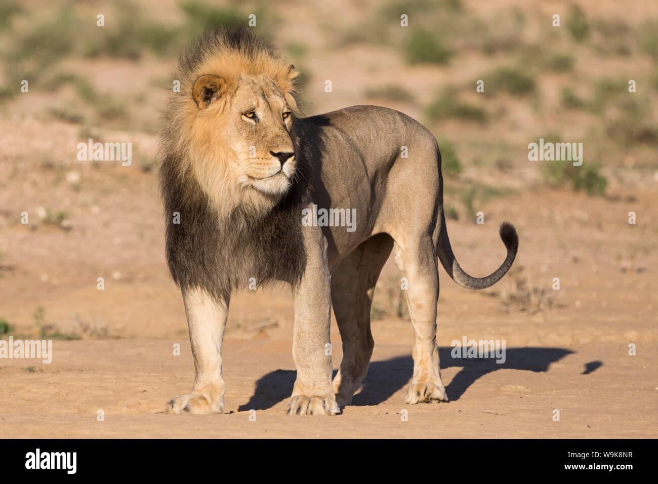 Männliche Löwe (Panthera leo) auf Patrouille, Kgalagadi Transfrontier Park, Northern Cape, Südafrika, Afrika Stockfoto