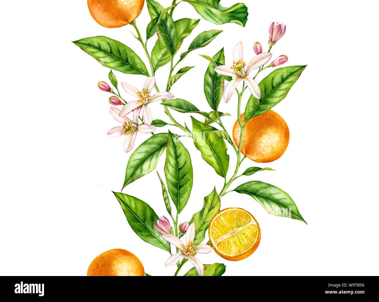 Orange Frucht nahtlose grenzüberschreitende Ast mit Blumen realistische Botanischen floral Oberfläche Design: Ganze halbe Zitrusfrucht Blätter auf weiße Hand isoliert gezeichnet Stockfoto
