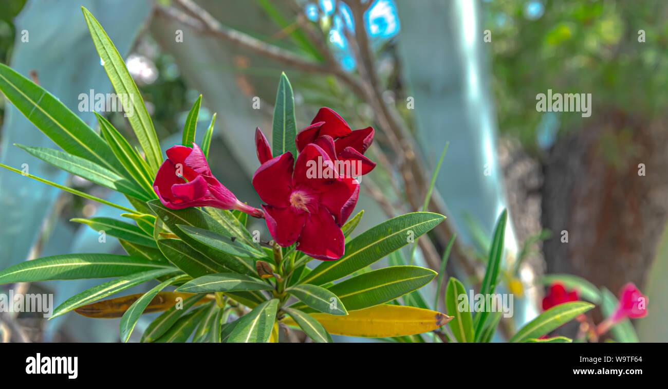 Nerium oleander Stockfoto
