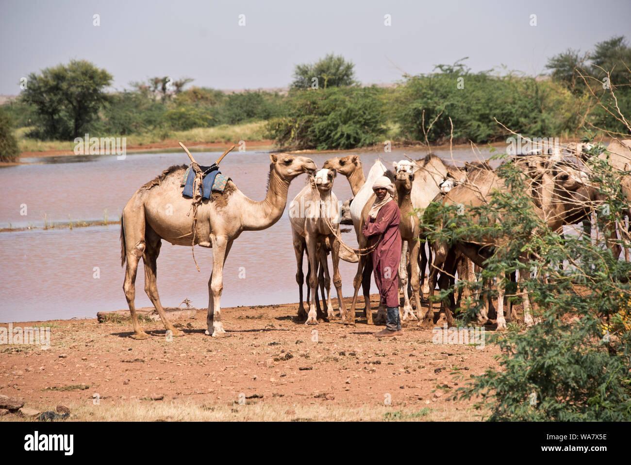 Nomadische Mann mit seinen kamelen an einem Ort in der Nähe von gießen Ingal im Niger, Westafrika Stockfoto