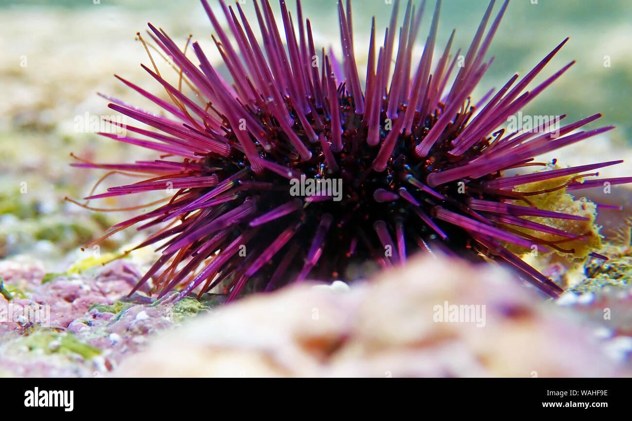 Paracentrotus lividus - bunte Mediterrane Seeigel in Unterwasser Szene Stockfoto