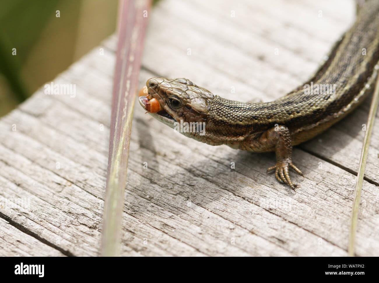 Eine gemeinsame Eidechse, Zootoca vivipara, Essen ein Insekt auf einem Holzsteg. Stockfoto