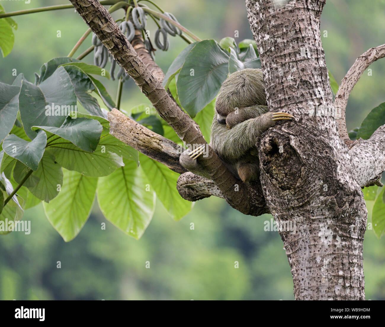 Drei-toed sloth Schlafen, Bradypus variegatus, Manuel Antonio Nationalpark, CR Stockfoto