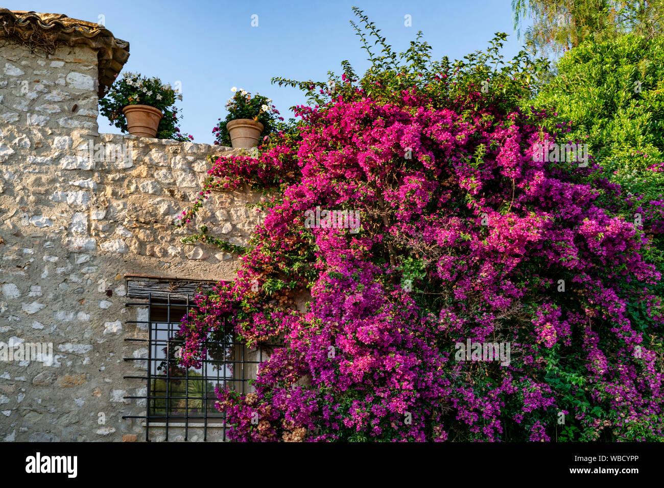 Bouganville in Saint-Paul-de-Vence, Département Alpes-Maritimes, Region Provence-Alpes-Côte d'Azur, Frankreich Stockfoto