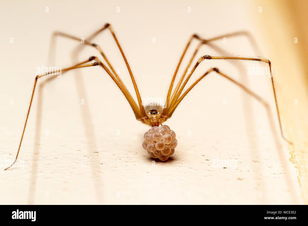 Keller Spinne mit ihrem Eier (Pholcus phalangioides) Stockfoto