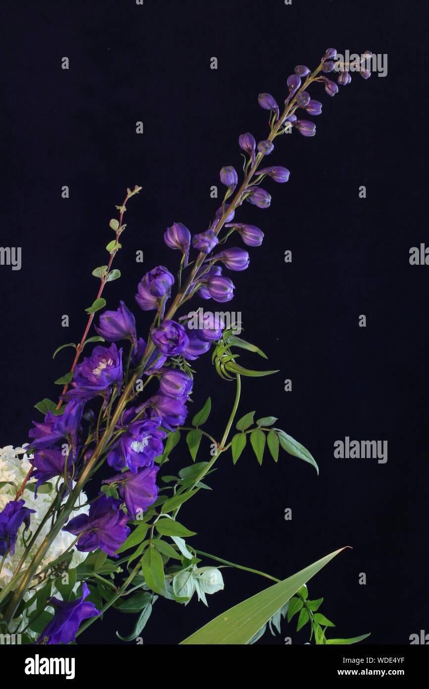 Single Rittersporn mit einer weißen Rose und Jasmin Blätter auf einem dunkelblauen Hintergrund. Noch immer leben in einer wunderschönen Blume Stockfoto