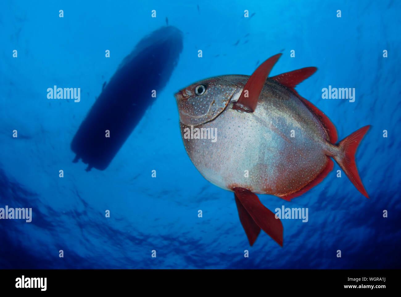 Opah, Lampris guttatus. Es ist ein ENDOTHERMER Fisch (warmblüter), mit einem rete mirabile in seiner Gill Gewebestruktur, die zum ersten Mal im Jahr 2015 beschrieben. Stockfoto
