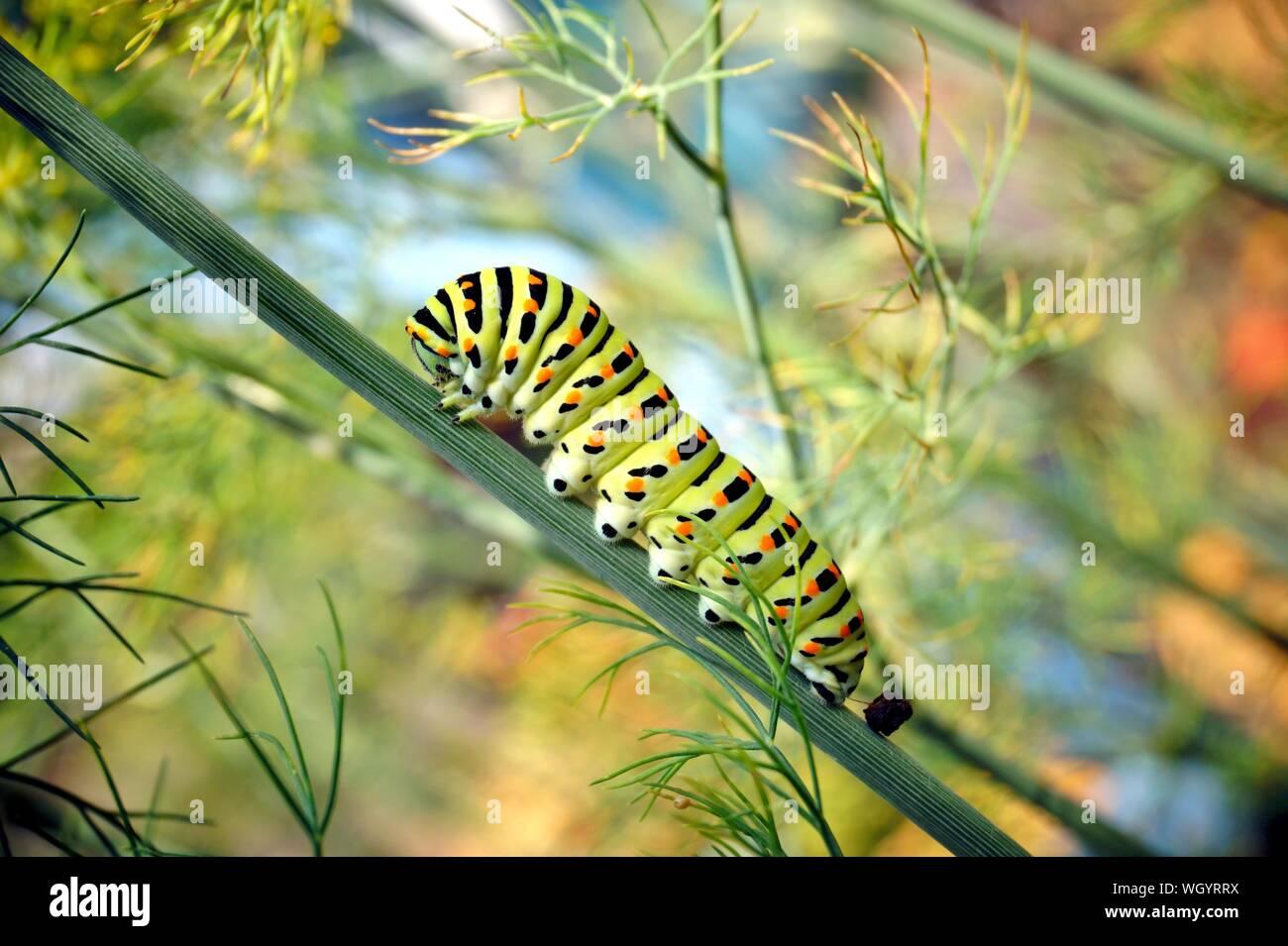 Raupe des Schwalbenschwanz Pieris brassicae auf frischen grünen duftenden Dill Anethum graveolens im Garten. Garten Pflanzen. Raupe auf Dill. Stockfoto