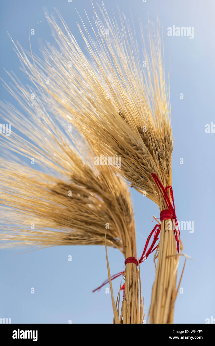 Goldene Weizen Bundles gegen sonnigen blauen Himmel Stockfoto