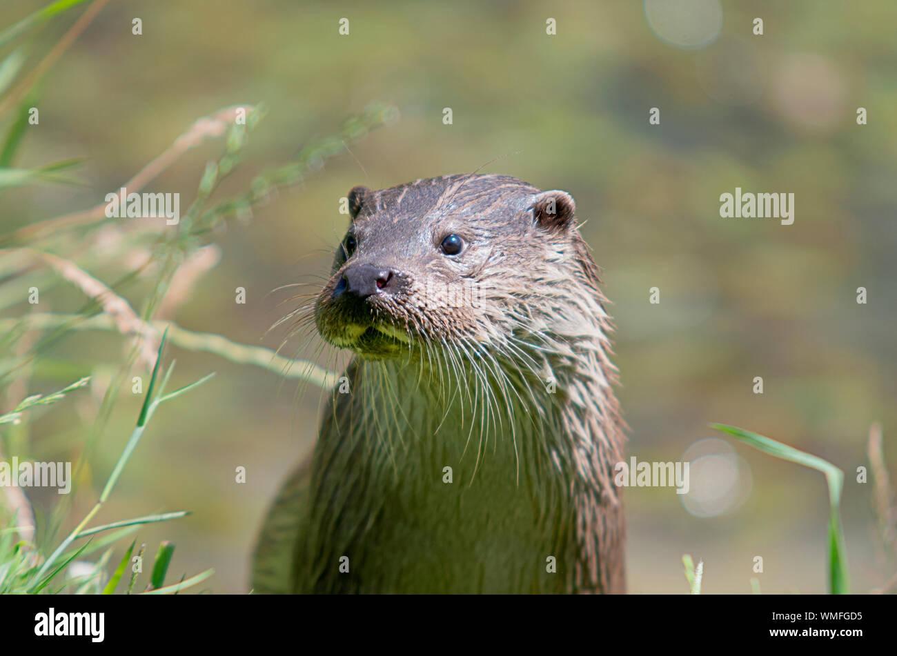 Wild Fischotter auf der Bank auf ein Sommertag Stockfoto