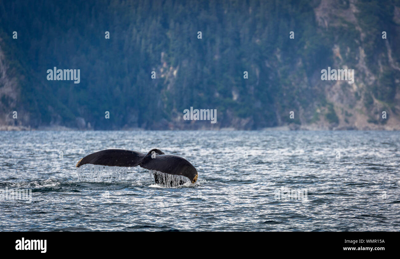 Buckelwal Schwanz in der Resurrection Bay, Alaska Stockfoto
