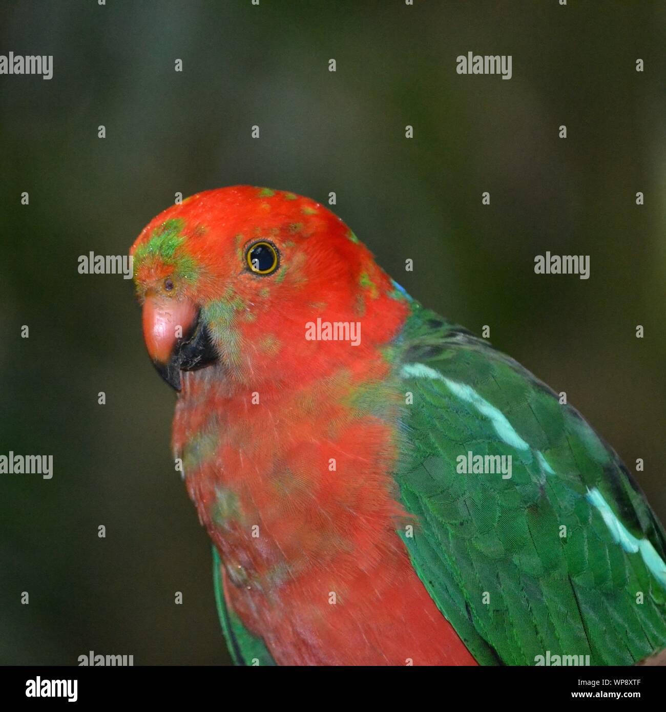 Kopf Nahaufnahme von einem Jugendlichen lebendige Farben Rot und Grün König Parrot Stockfoto