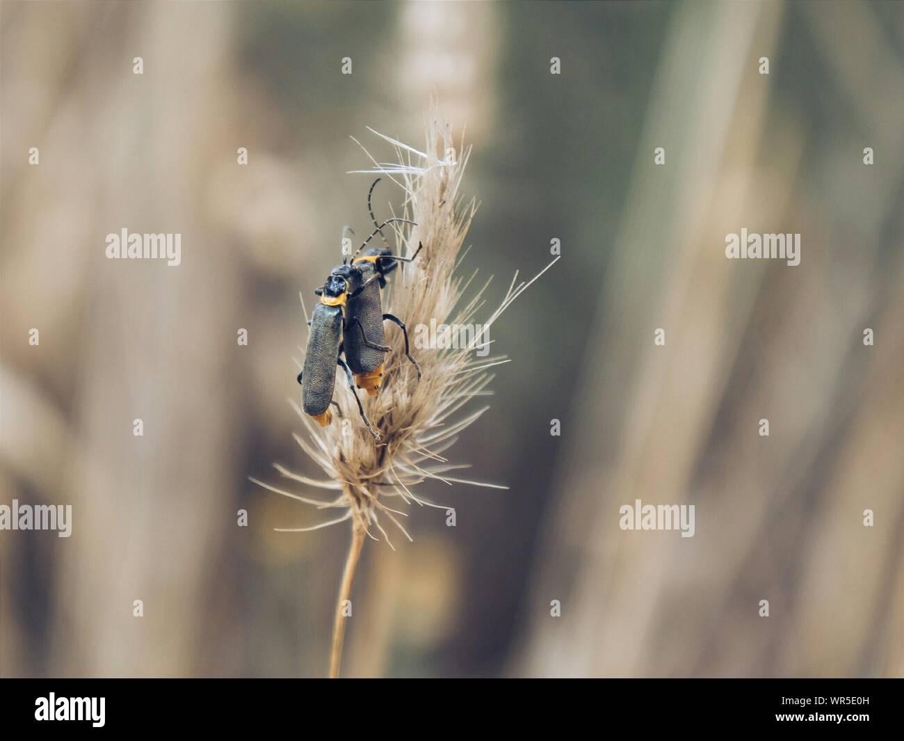 Paarung der Käfer auf Reed Stockfoto