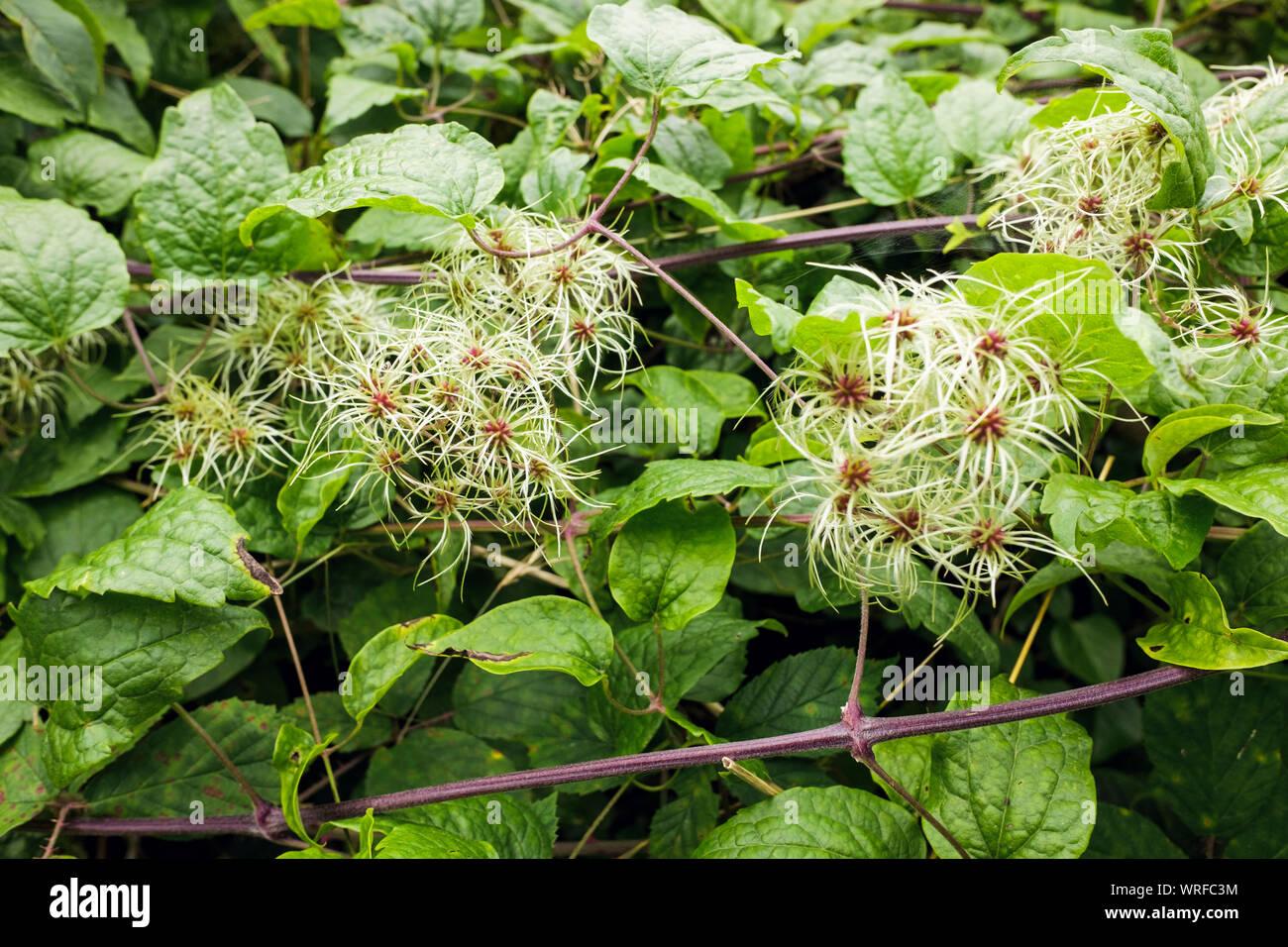 Hecken Kletterpflanzen Stockfotos Und Bilder Kaufen Alamy