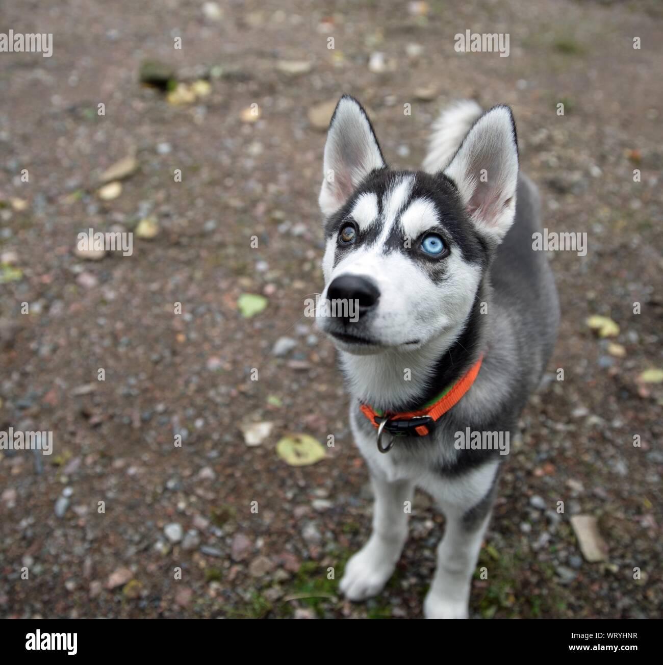 Husky Auge Stockfotos Und Bilder Kaufen Alamy