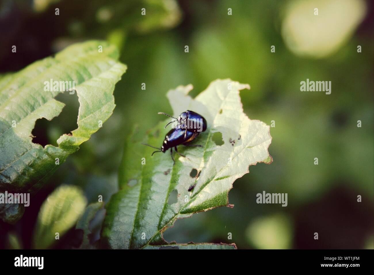 Passende Paar schwarze Käfer Stockfoto