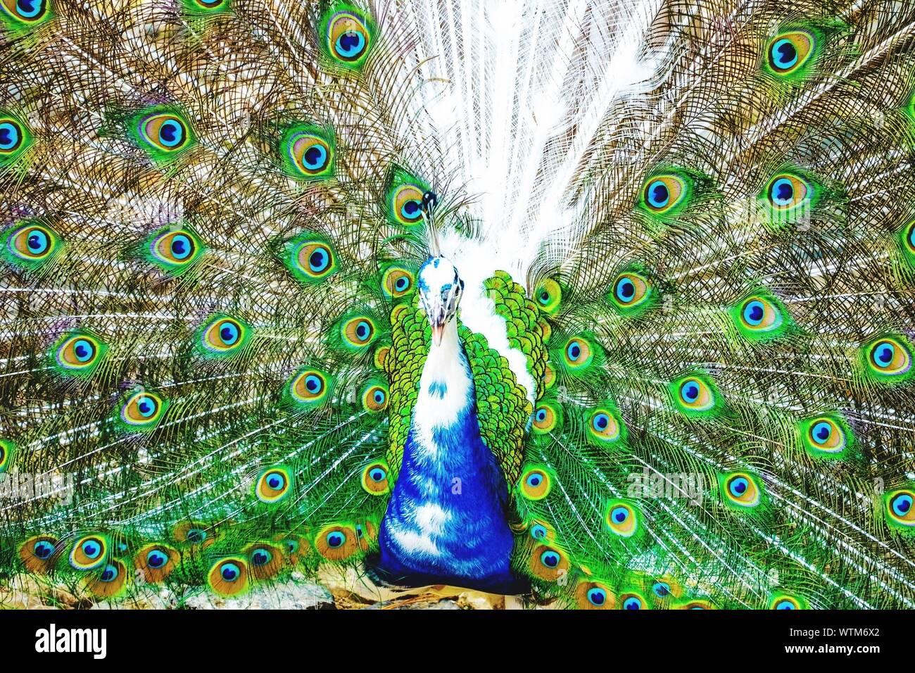 Majestic Peacock Tanzen mit Federn schwärmten aus, Stockfoto