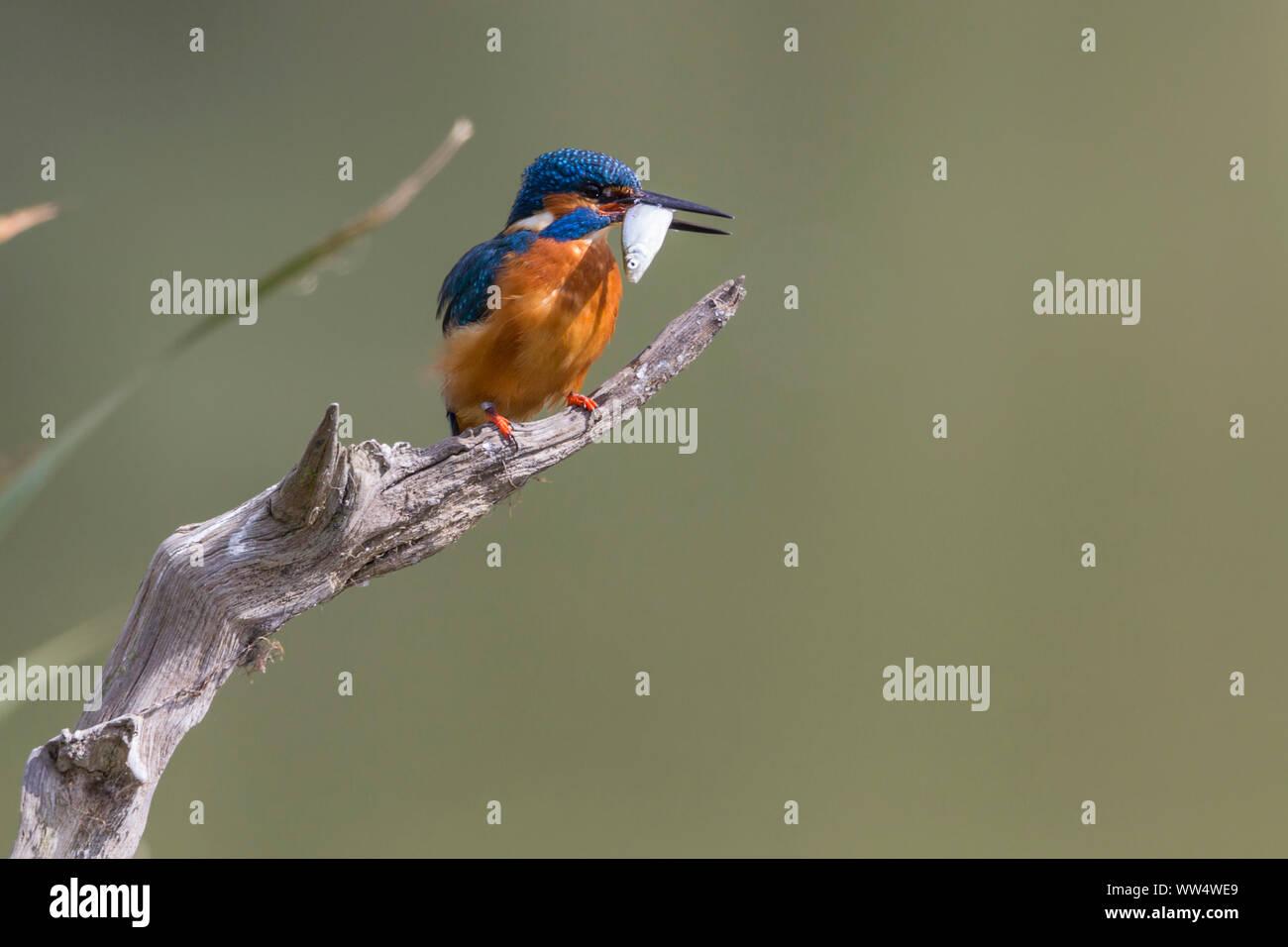Eisvogel (Alcedo atthis) männlichen auf Barsch langen Dolch - wie Bill orange underparts und Wangen oberen Teile Electric Blue. Weißen Hals und Nacken Patches. Stockfoto
