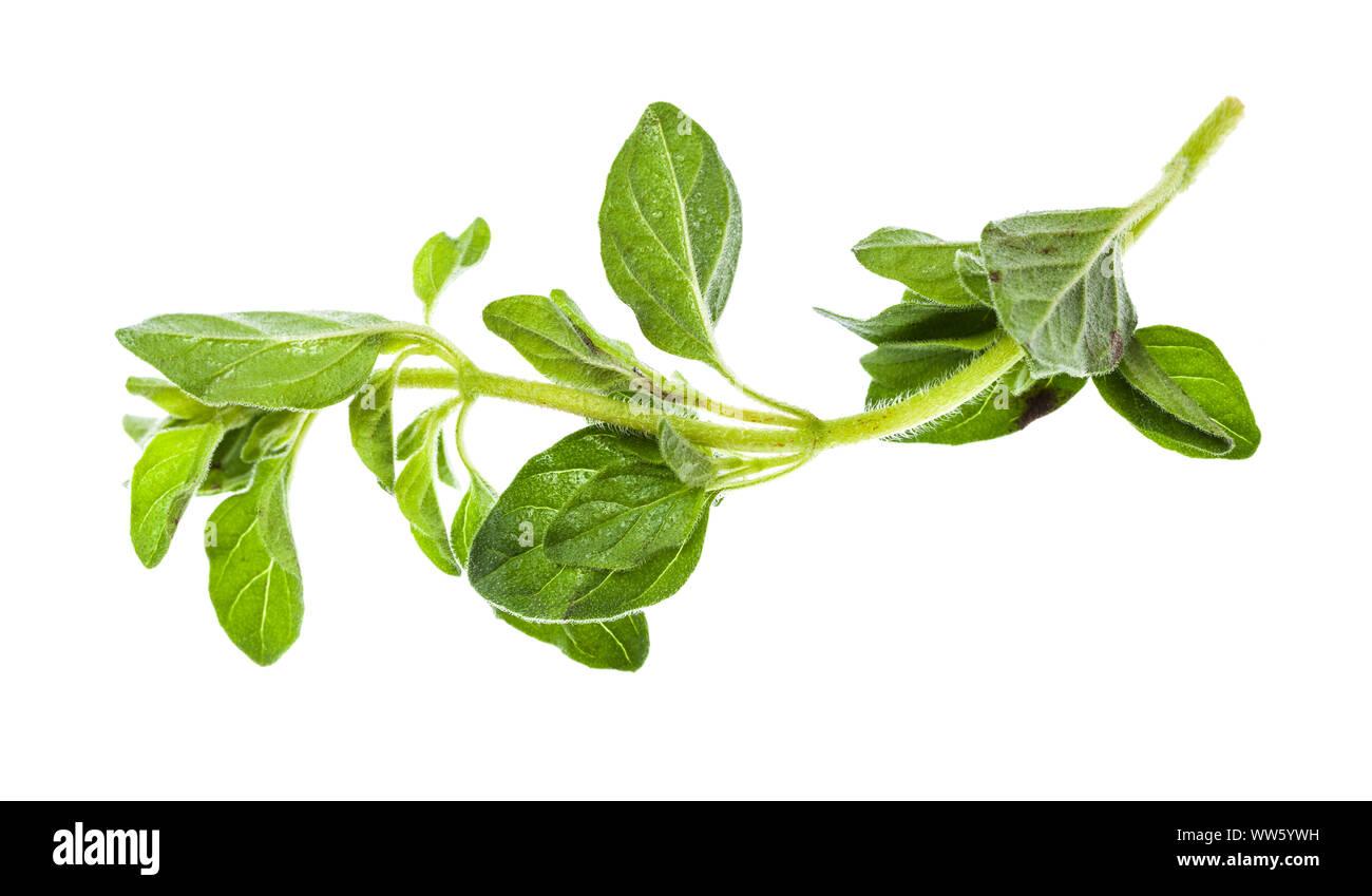 Zweig frischer Oregano Kraut auf weißem Hintergrund Stockfoto