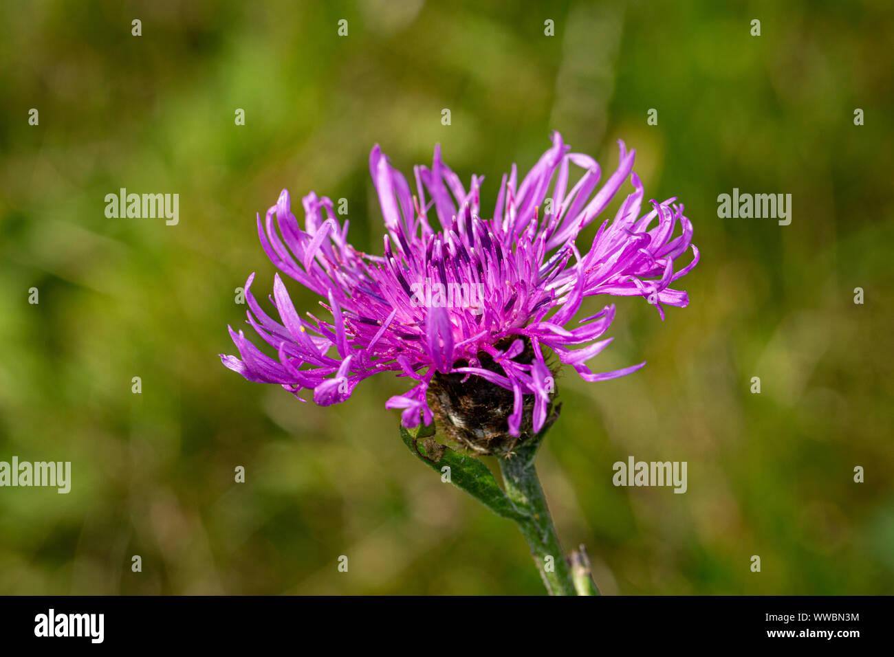Gemeinsamen Flockenblume (Centaurea Nigra) Stockfoto