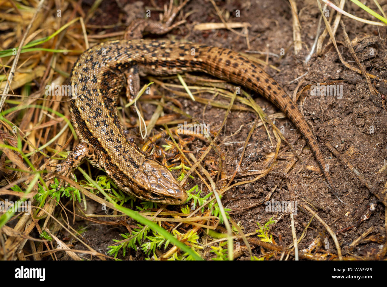 Gemeinsame Lizard (Zootoca Vivipara), Devon, Großbritannien Stockfoto
